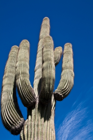 Saguaro cactus agaist a cloudy sky in Joshua Tree National Park, California. photo