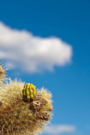 cholla cactus: Jumping cholla cactus in Joshua Tree National Park, California. Stock Photo