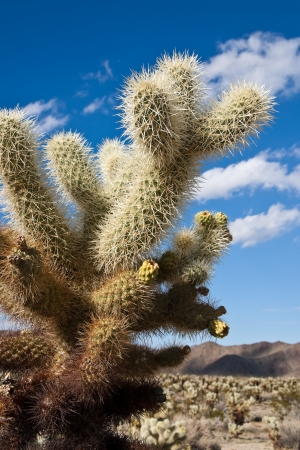Jumping cholla cactus in Joshua Tree National Park, California. Stock Photo - 14989966