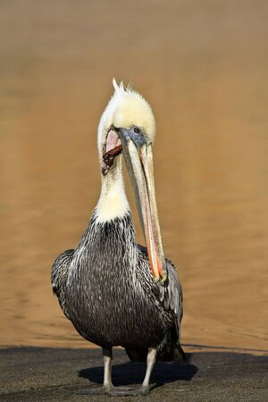 Brown Pelican with a Damaged Throat
