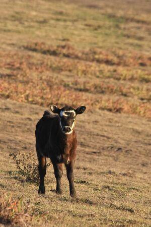 bovid: Calf at  Point Reyes National Seashore, California