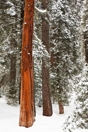 sequoia: Red tree in the forest during winter in Sequoia National Park, California  Stock Photo