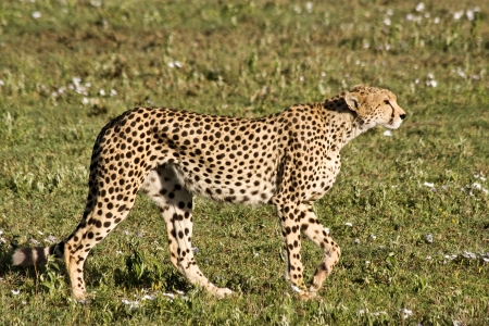 Stalking cheetah in Serengeti National Park, Tanzania  photo