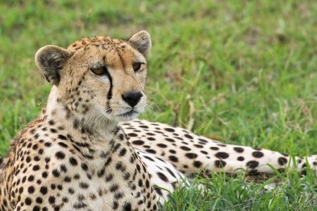 Wild cheetah in Grumeti Reserves, Tanzania