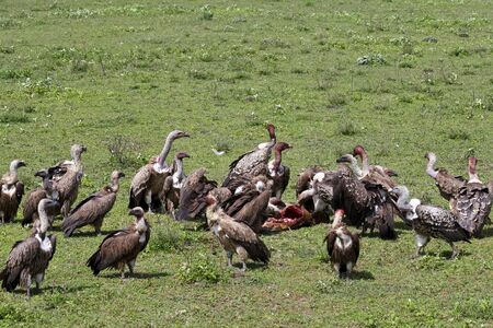 Vultures feasting on carrion in Serengeti National Park, Tanzania.