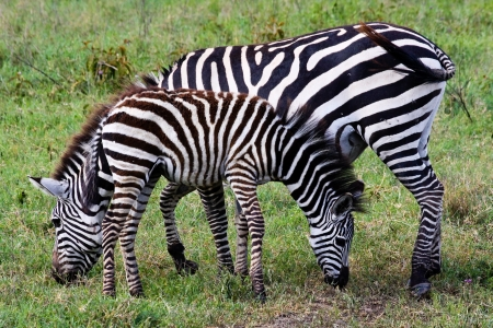 conservation grazing: Zebra and foal grazing in Ngorongoro Conservation Area, Tanzania.
