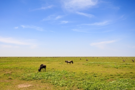 endless: Grazing gnu in the endless plains of Serengeti National Park, Tanzania.