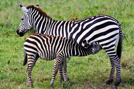 suckle: Mother zebra nursing her foal in Ngorongoro Conservation Area, Tanzania.