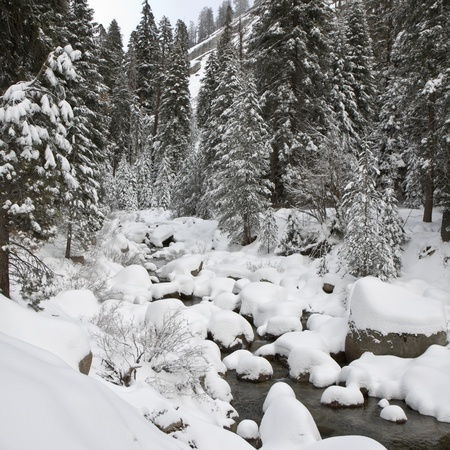 black and white forest: Forest creek in winter at Sequoia National Park, California.