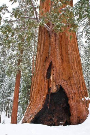 ocas: Los árboles viejos y jóvenes en Sequoia National Park, California Foto de archivo