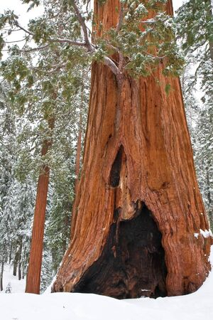 hollow tree: Old and young trees in Sequoia National Park, California