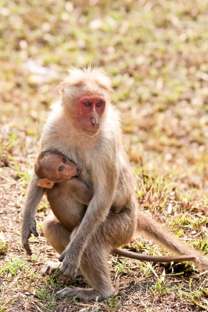 sanctuary: Bonnet macaque mother with baby in Bandipur National Park, India  Stock Photo