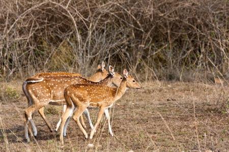 axis: Chital (Axis axis) ciervos en Bandipur National Park, India.