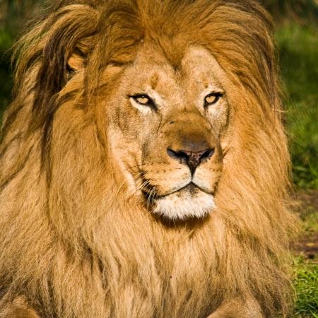 León macho en el zoológico.