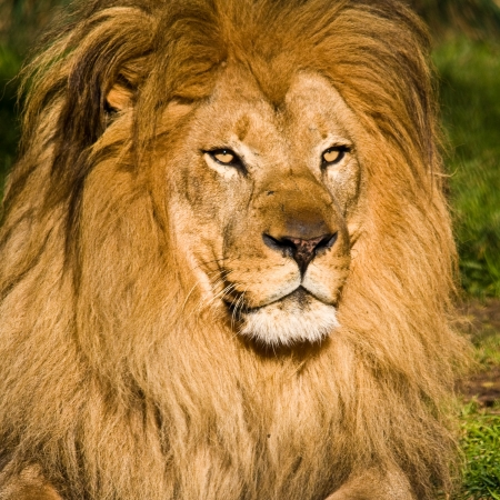 Male lion at the Zoo. Stock Photo