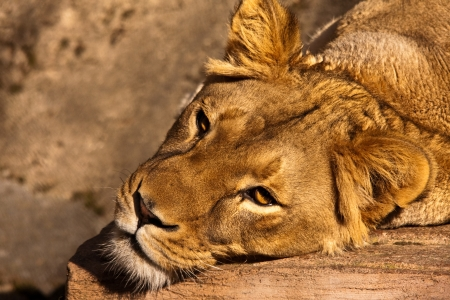 Lioness resting in the Zoo.