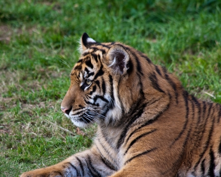 Tiger cub in the Zoo. photo