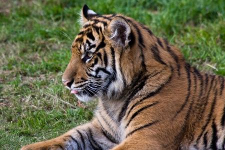 confine: Tiger cub in the zoo. Stock Photo