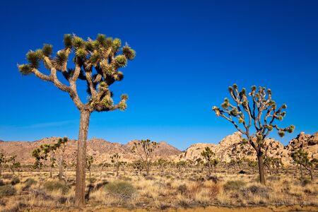 joshua: Joshua trees in the Mojave desert of California.