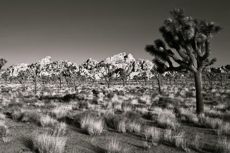 joshua: Beautiful morning scene in Joshua Tree National Park, California.
