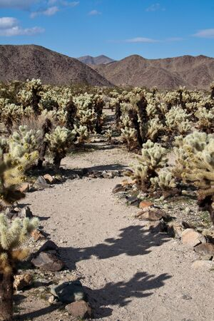national plant: Path through Cholla Cacti in Joshua Tree National Park, California.
