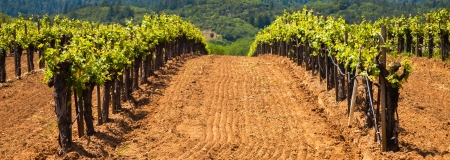 Neat vineyards in the Dry Creek Valley wine region in Sonoma, California. Shallow depth of field. photo