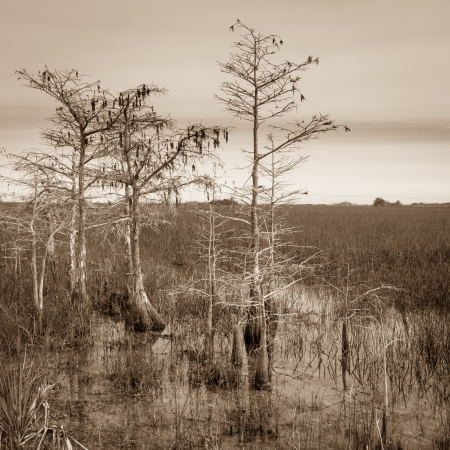 Dwarf cypress trees landscape in the Everglades National Park, Florida. photo