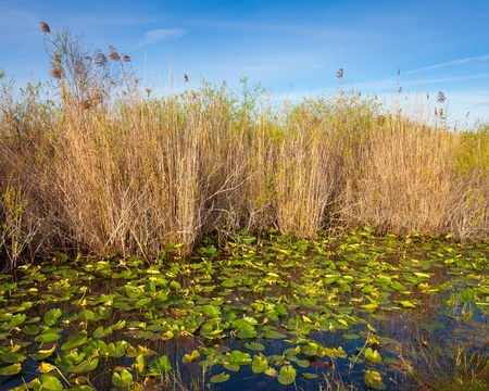 sawgrass: Lilies and reeds in the Everglades, Florida