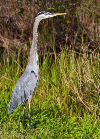 great blue heron: Alert great blue heron in Everglades National Park, Florida. Stock Photo