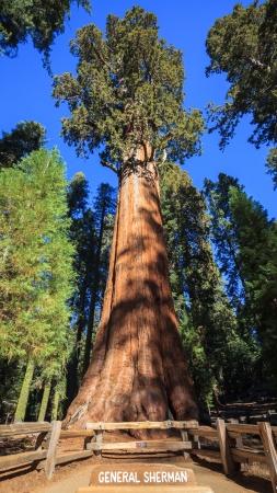 シャーマン将軍 - セコイア国立公園、地球上最大の木