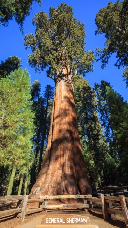 sequoia: General Sherman - the largest tree on Earth, Sequoia National Park  Stock Photo