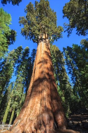 General Sherman - the largest tree on Earth, Sequoia National Park  Stock Photo