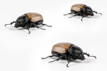 horn beetle: Rhinoceros beetle Rhino beetle Hercules beetle Unicorn beetle Horn beetle Stock Photo