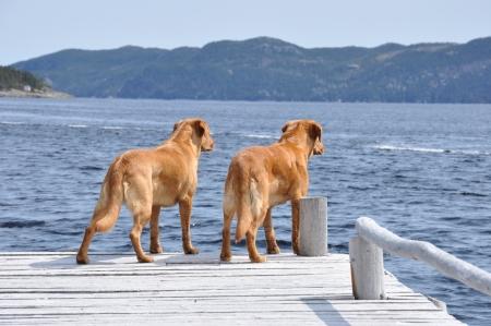 two yellow labrador retrievers standing on wharf