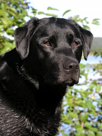 black labrador: portrait of a black labrador retriever