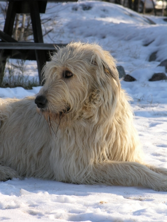 irish wolfhound lying in snow