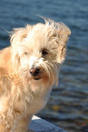 portrait of a shaggy white terrier