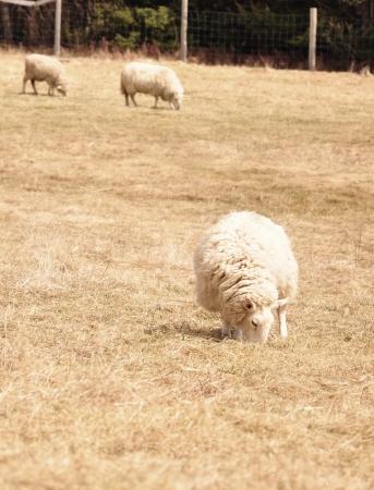 sheep grazing in field