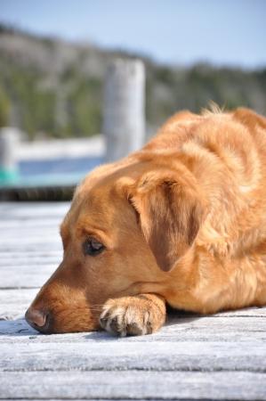yellow labrador retriever Stok Fotoğraf
