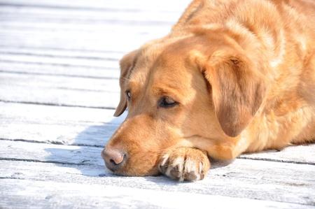 yellow labrador lying on wharf