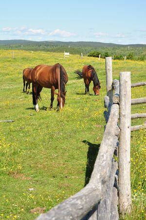 horses grazing in grassy field