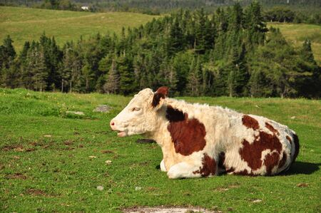 white and brown cow lying down in pasture