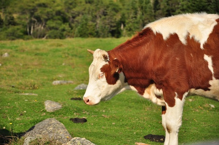 white and brown cow in grassy green pasture Stock Photo - 15358288