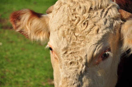 close up of cow s face Stock Photo - 15358290