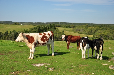 four cows in pasture Stock Photo - 15358298