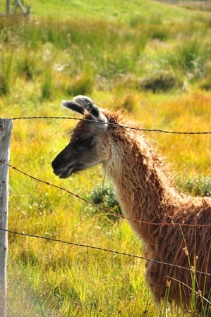 llama Stok Fotoğraf