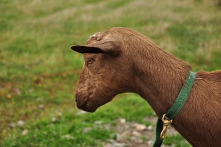 brown goat Stok Fotoğraf