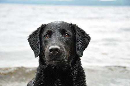 portrait of black Labrador Retriever
