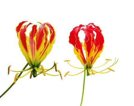 Glory Lily isolated on white background photo