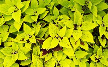 two tone: Two tone green Coleus